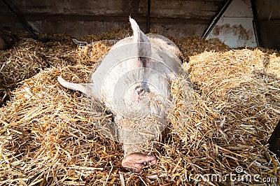 Sleeping pig on the farm