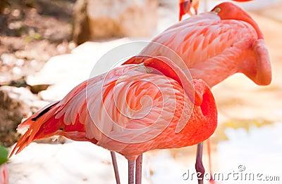 Sleeping pink flamingos