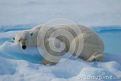 Sleeping polarbear