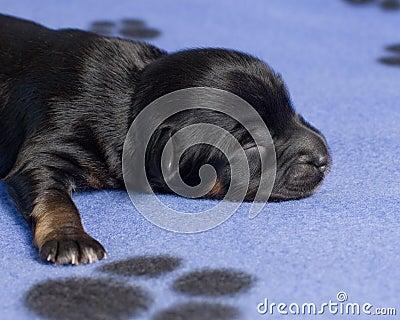 Sleeping puppy close-up
