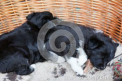 Sleeping puppy dogs