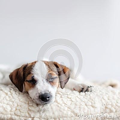 Free Sleeping Puppy On Dog Bed Stock Photo - 115022950