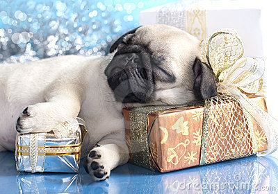 Sleeping puppy pug
