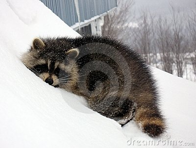 Sleeping raccoon on snow