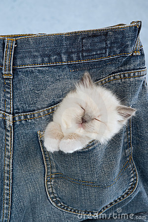 Sleeping Ragdoll kitten in pocket of pants