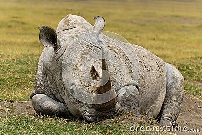 Black rhinoceros photo - Diceros bicornis - G113329 | ARKive
