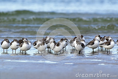 Sleeping Sanderlings (Calidris alba)