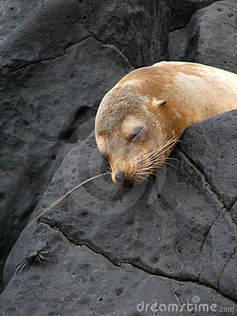 Free Sleeping Sea Lion Stock Photography - 5701122