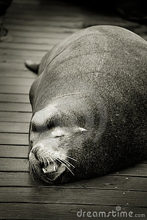 Sleeping sea lion on dock