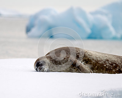 Sleeping Seal in Antarctica