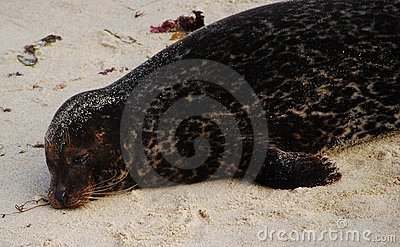 Sleeping Seal in the wild