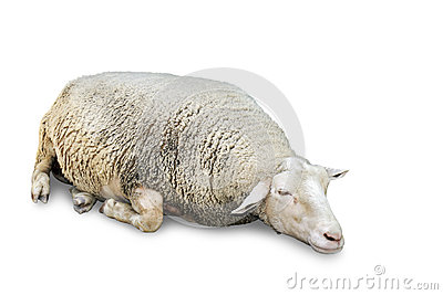 Sleeping sheep on white