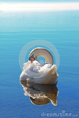 Free Sleeping Swan In Blue Water Royalty Free Stock Photos - 50453078