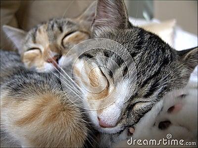 Sleeping tabby cats