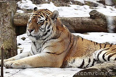 Sleeping tiger on the snow