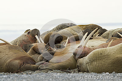 Sleeping Walruses