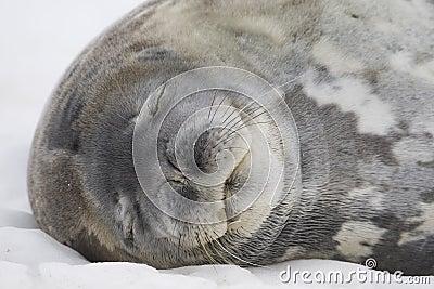 Sleeping Weddell Seal, Antarctica