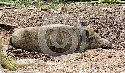 Sleeping wild pig
