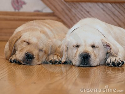 Sleeping Yellow Lab puppies