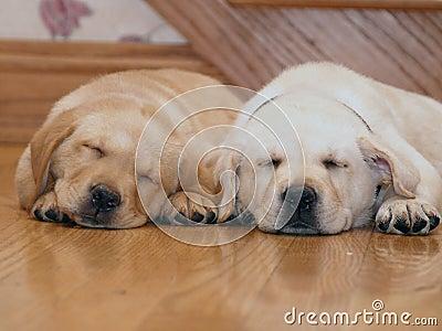 yellow lab puppies sleeping. SLEEPING YELLOW LAB PUPPIES