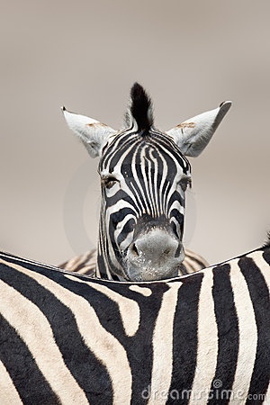 Sleeping Zebra portrait