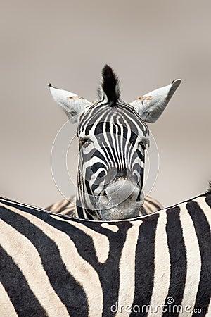 Free Sleeping Zebra Portrait Royalty Free Stock Image - 12367186