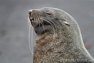 Sleepy Antarctic fur seal, Antarctica