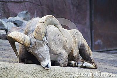 Sleepy bighorn ram