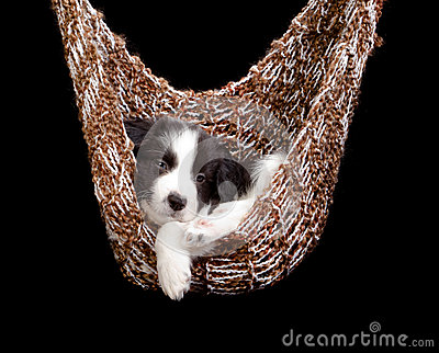 Sleepy border collie puppy