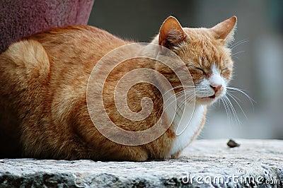Sleepy brown cat