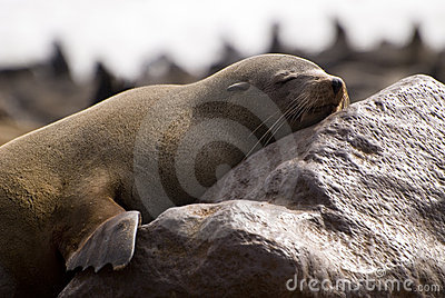 Sleepy cape fur seal