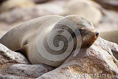 Sleepy cape fur seal