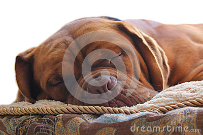 Sleepy Dog II Royalty Free Stock Image - Image: 25201516