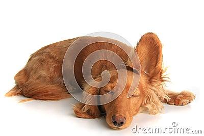 Sleepy dog listening