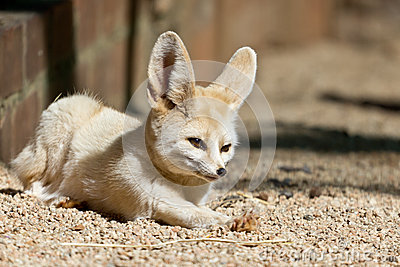 Sleepy Fennec