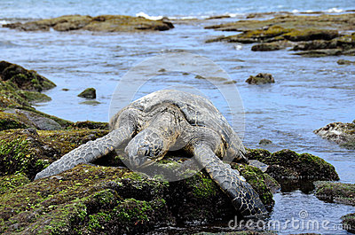 Sleepy Giant Hawaiian Sea Turtle