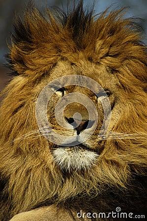 Free Sleepy Lion Stock Photos - 158133