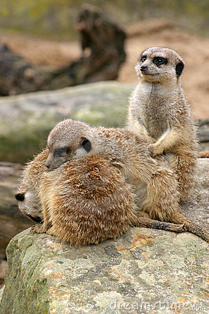 Free Sleepy Meerkat Trio Stock Photography - 927742