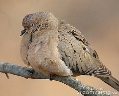 Sleepy Mourning Dove