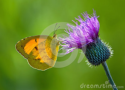 Sleepy Orange butterfly, eurema nicippe