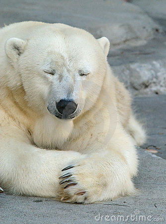 Free Sleepy Polar Bear Royalty Free Stock Photography - 794277