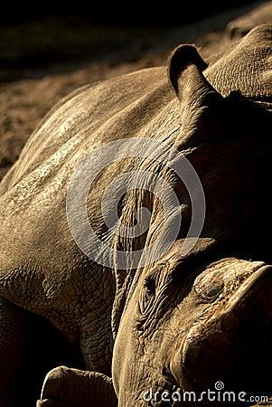 Sleepy rhino, resting in the sun