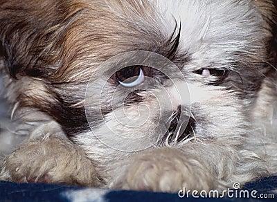 sleepy shih-tzu lapso puppy