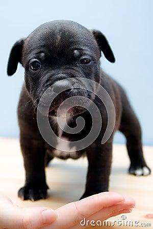 Sleepy Staffordshire Bull Terrier puppy - 2 weeks