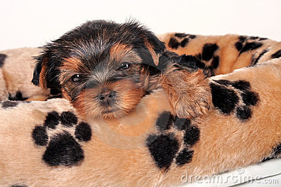 Sleepy Yorkshire Terrier
