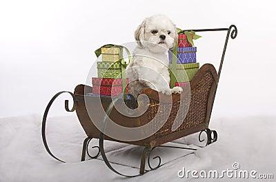 Sleigh dog