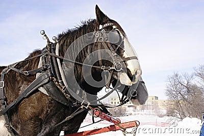 Sleigh Horses