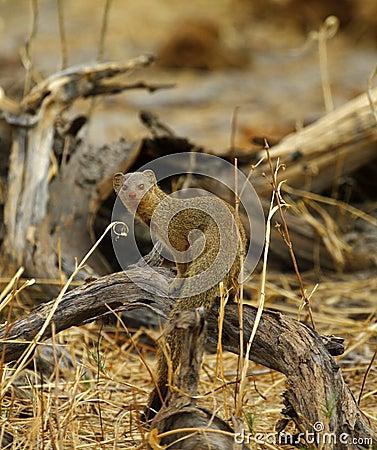 Free Slender Mongoose Royalty Free Stock Image - 43538386