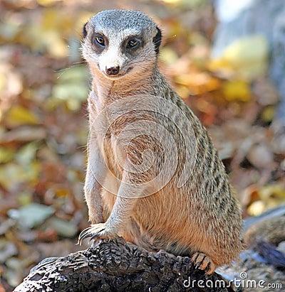 Free Slender-tailed Meerkat Royalty Free Stock Photos - 2399928