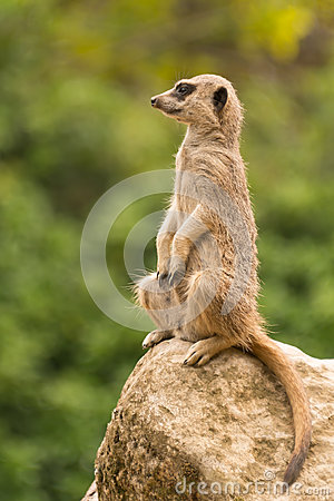 Free Slender-tailed Meerkat Sitting Watchfully Up On Rock Stock Image - 55341131